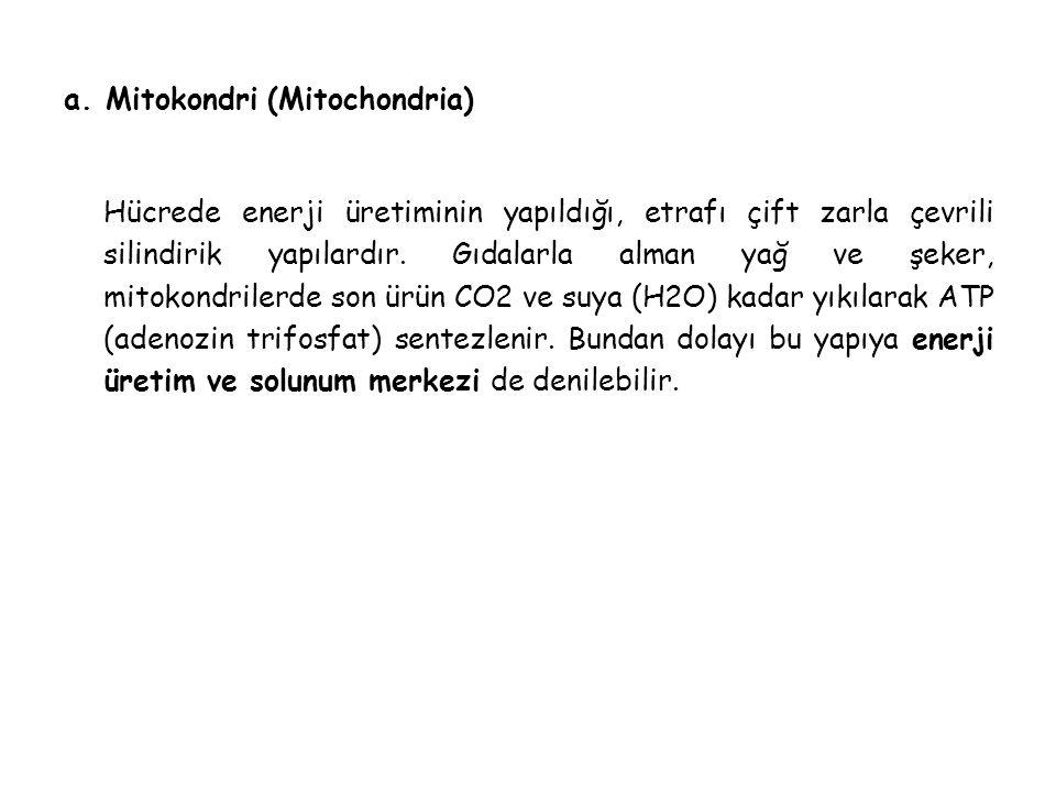 a. Mitokondri (Mitochondria)