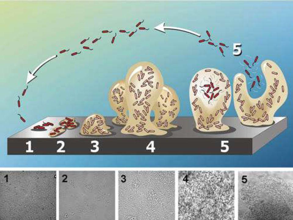 Biofilm oluşumu bakterilerin bir yüzeye tutunmaları ile başlayan dinamik bir prosestir.