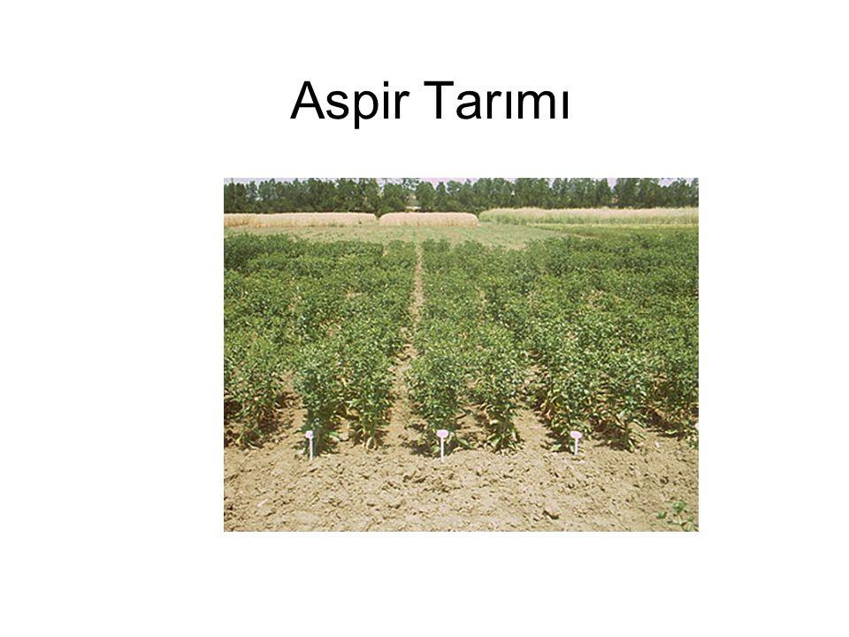 Aspir Tarımı