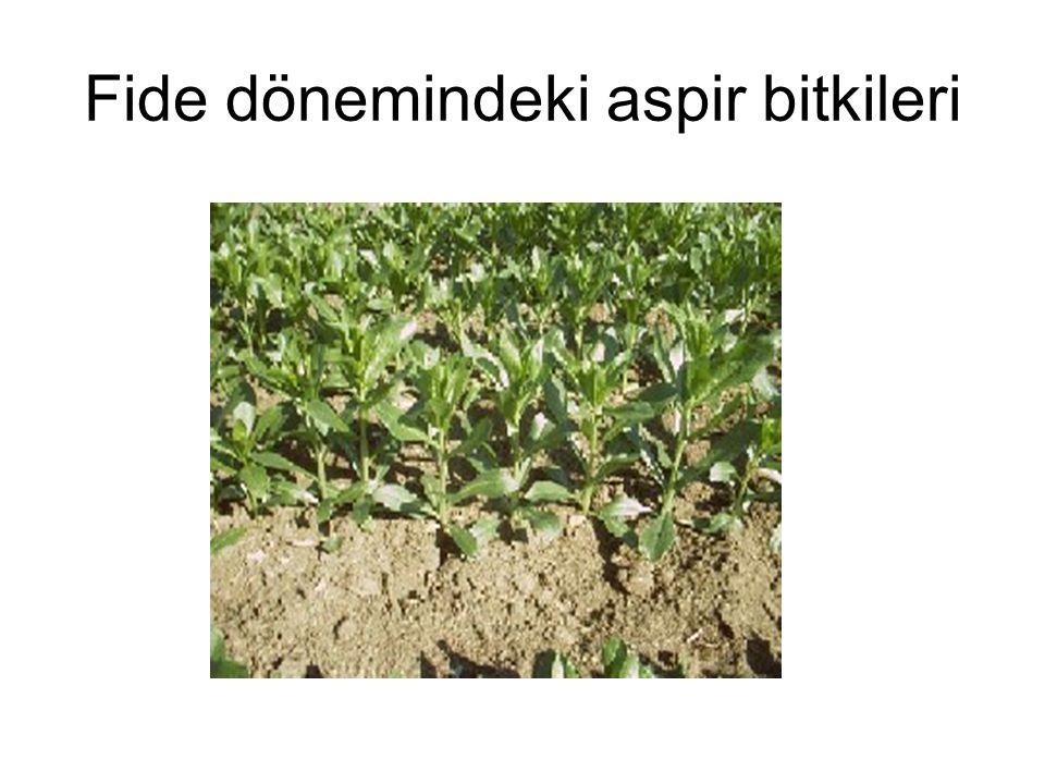 Fide dönemindeki aspir bitkileri