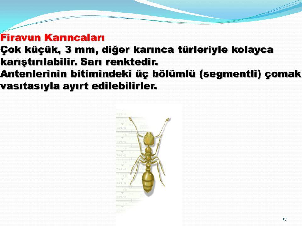 Firavun Karıncaları Çok küçük, 3 mm, diğer karınca türleriyle kolayca karıştırılabilir.