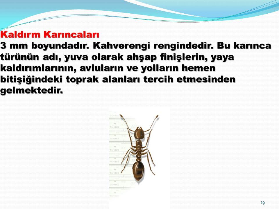 Kaldırm Karıncaları 3 mm boyundadır. Kahverengi rengindedir