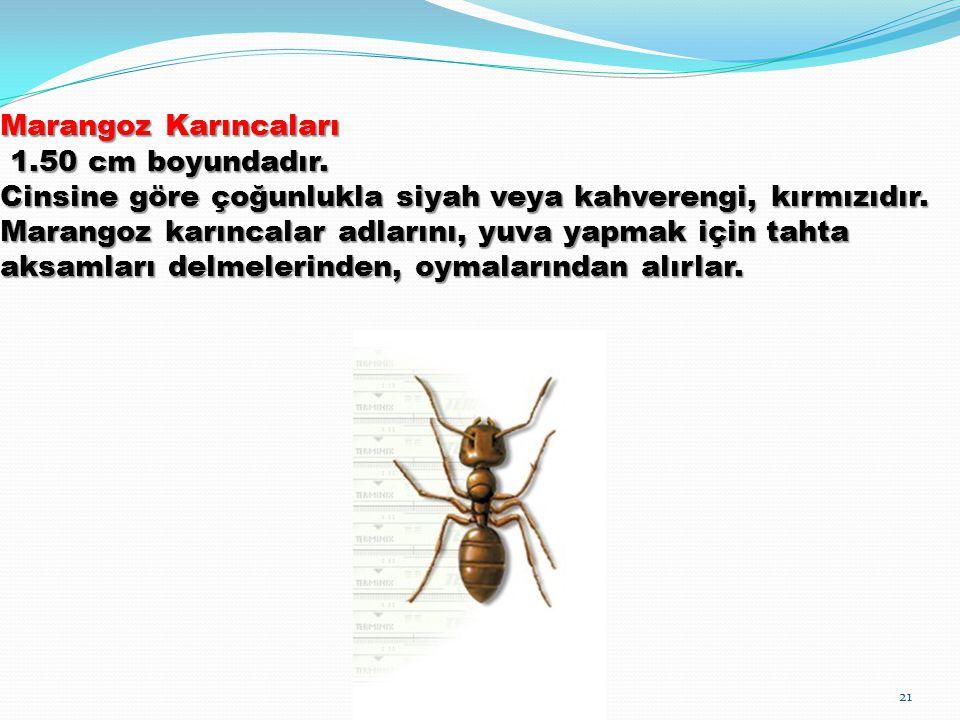Marangoz Karıncaları 1. 50 cm boyundadır