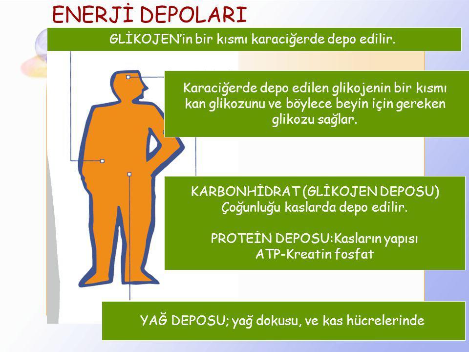 ENERJİ DEPOLARI GLİKOJEN'in bir kısmı karaciğerde depo edilir.