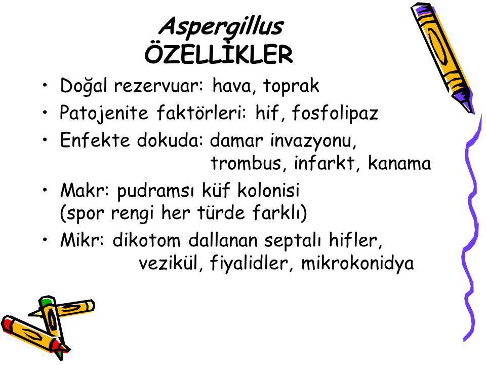 Aspergillus ÖZELLİKLER