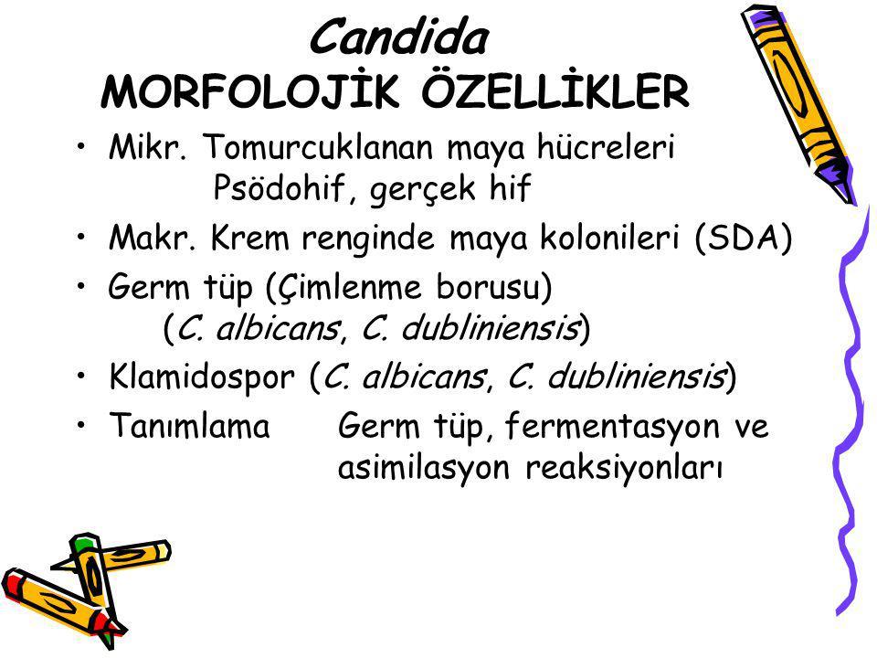 Candida MORFOLOJİK ÖZELLİKLER
