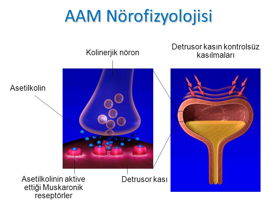 AAM Nörofizyolojisi Detrusor kasın kontrolsüz kasılmaları
