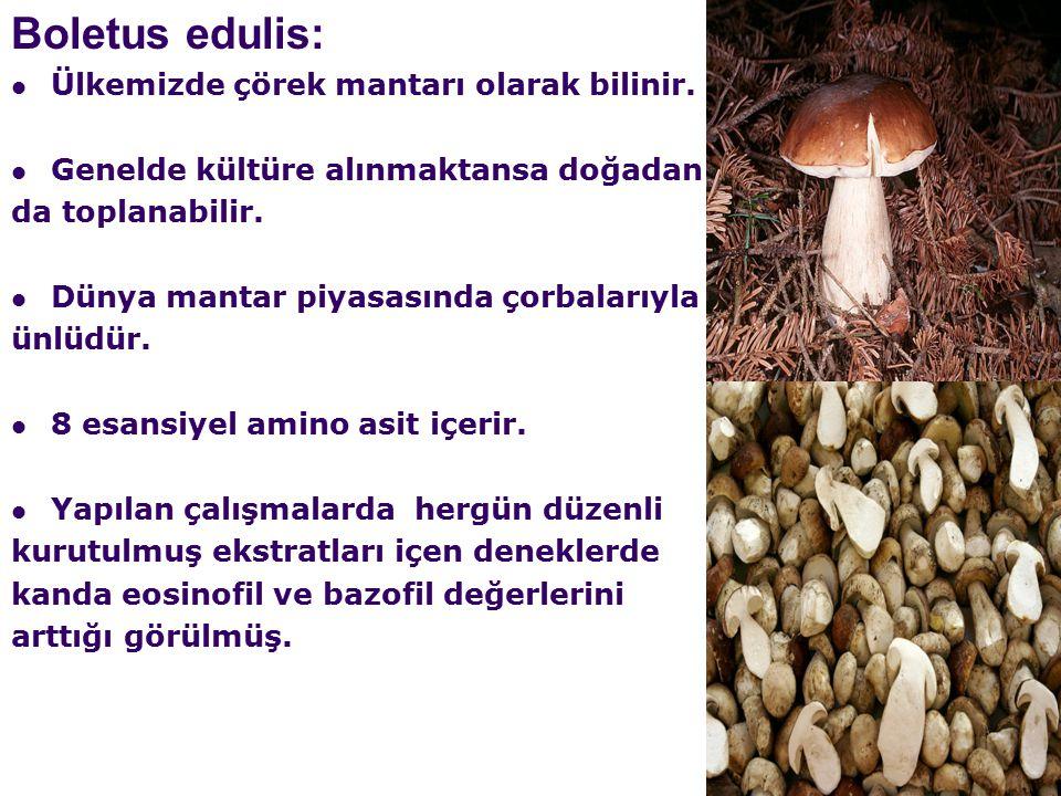 Boletus edulis: Ülkemizde çörek mantarı olarak bilinir.