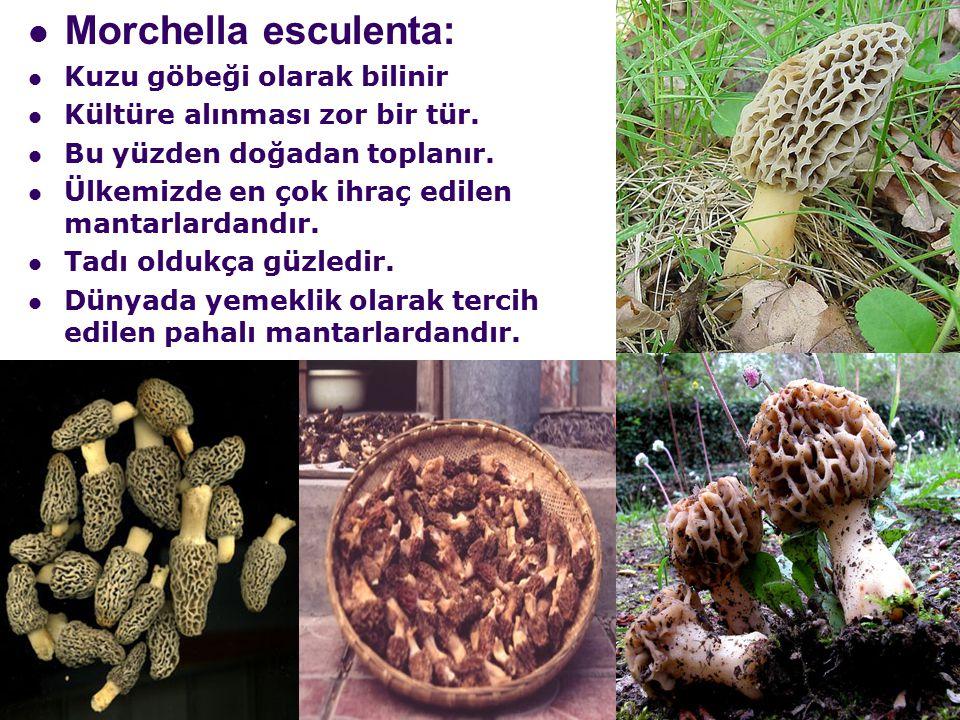Morchella esculenta: Kuzu göbeği olarak bilinir