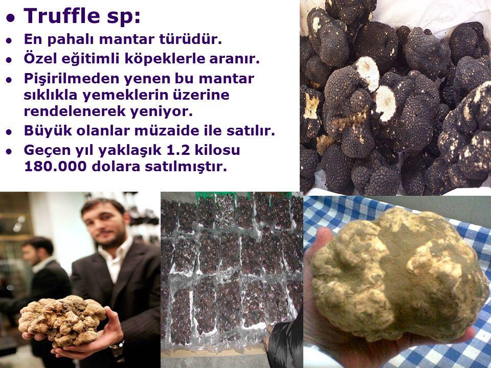 Truffle sp: En pahalı mantar türüdür. Özel eğitimli köpeklerle aranır.