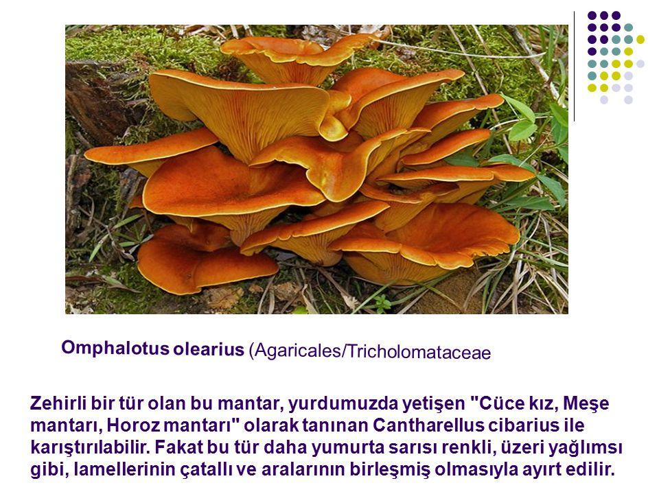 Omphalotus olearius (Agaricales/Tricholomataceae