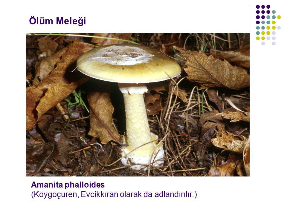 Ölüm Meleği Amanita phalloides (Köygöçüren, Evcikkıran olarak da adlandırılır.)