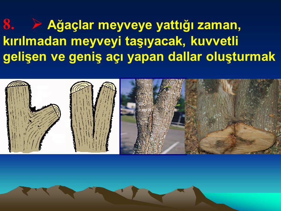 8.  Ağaçlar meyveye yattığı zaman, kırılmadan meyveyi taşıyacak, kuvvetli gelişen ve geniş açı yapan dallar oluşturmak