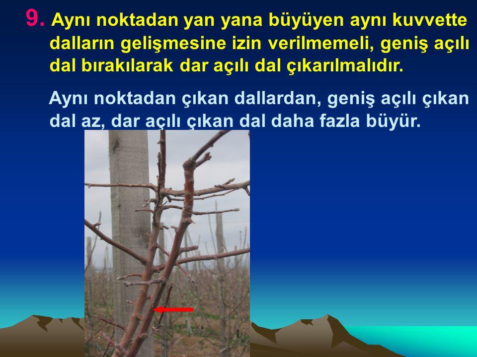 9. Aynı noktadan yan yana büyüyen aynı kuvvette dalların gelişmesine izin verilmemeli, geniş açılı dal bırakılarak dar açılı dal çıkarılmalıdır.