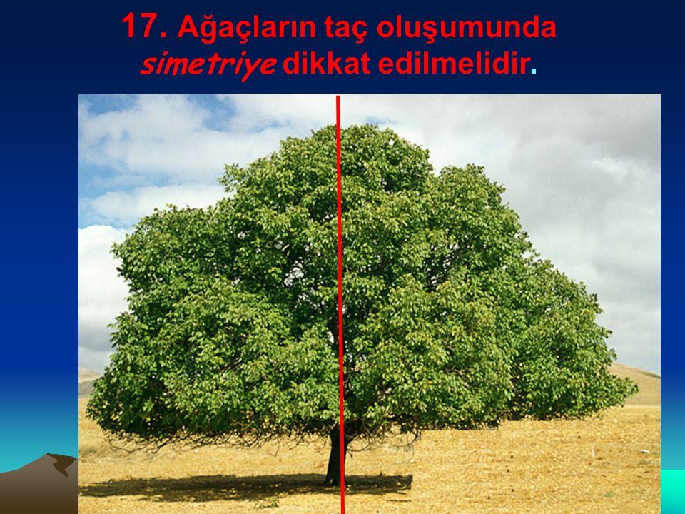 17. Ağaçların taç oluşumunda