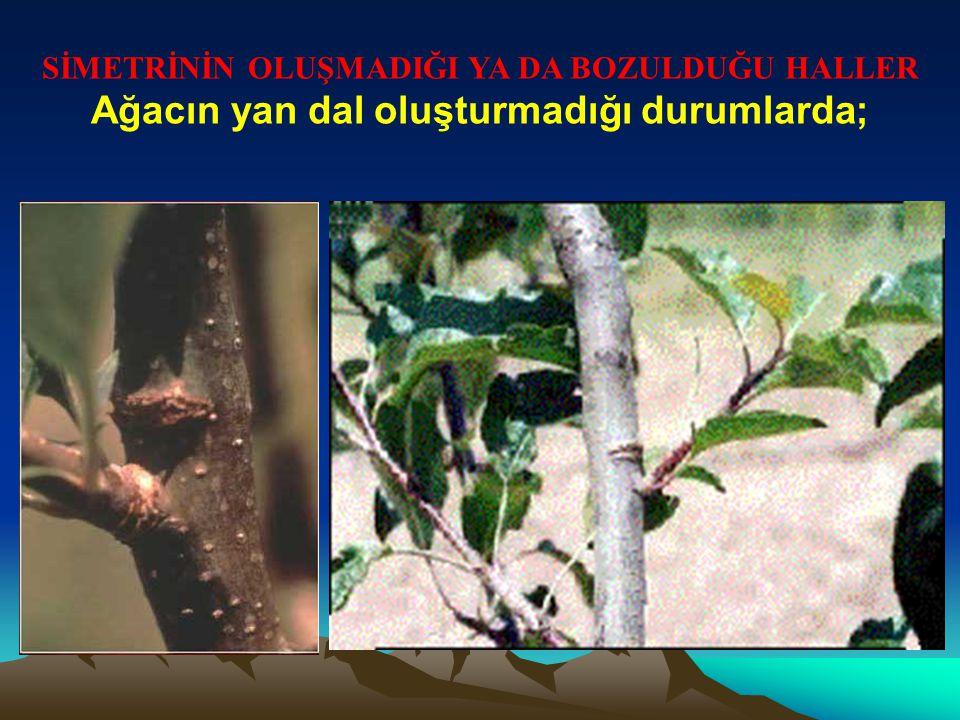 Ağacın yan dal oluşturmadığı durumlarda;