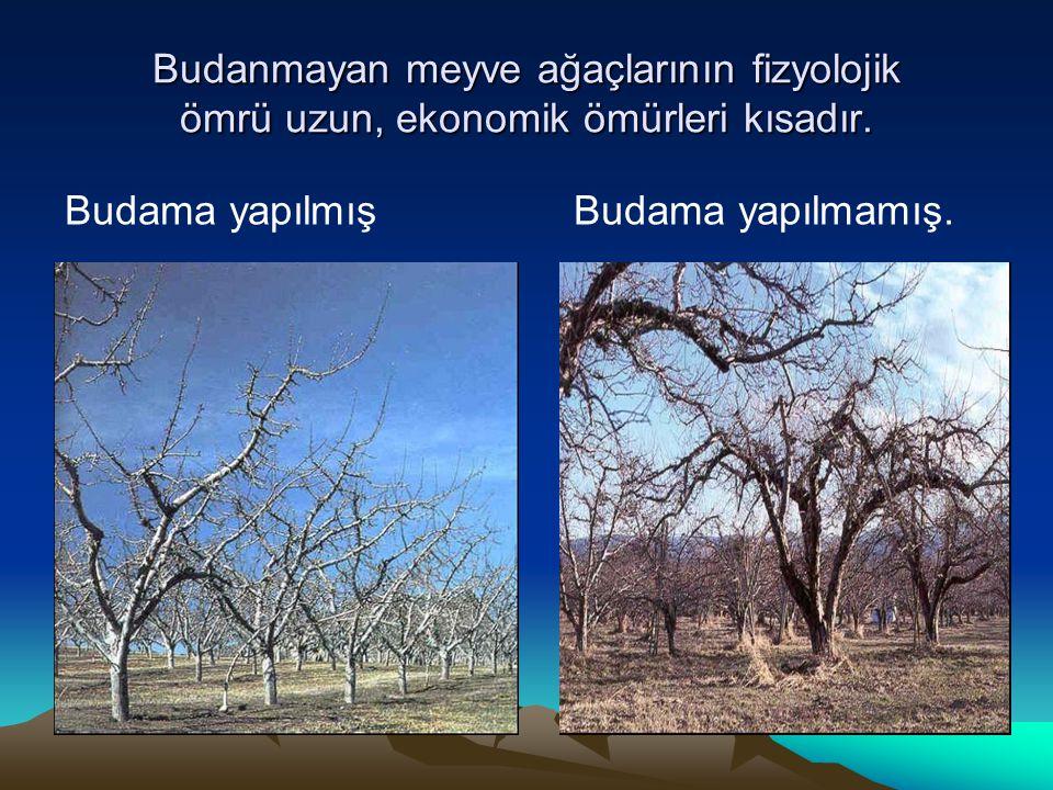 Budanmayan meyve ağaçlarının fizyolojik ömrü uzun, ekonomik ömürleri kısadır.
