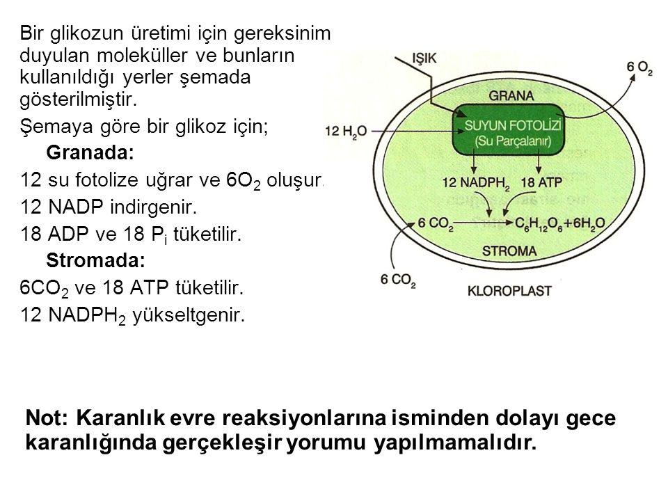 Bir glikozun üretimi için gereksinim duyulan moleküller ve bunların kullanıldığı yerler şemada gösterilmiştir.