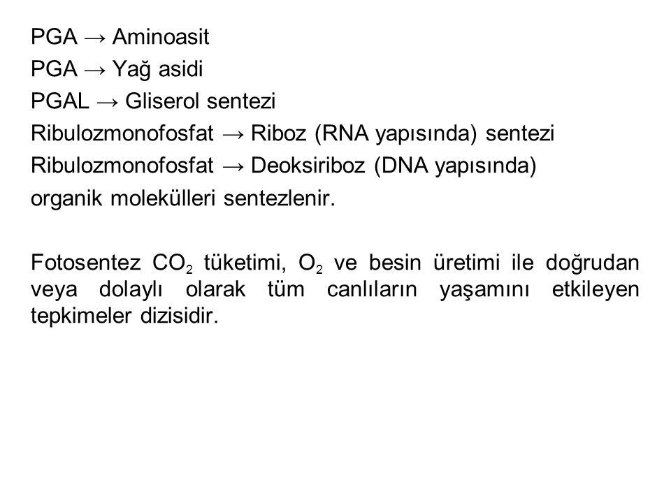 PGA → Aminoasit PGA → Yağ asidi. PGAL → Gliserol sentezi. Ribulozmonofosfat → Riboz (RNA yapısında) sentezi.