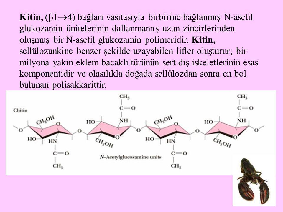 Kitin, (14) bağları vasıtasıyla birbirine bağlanmış N-asetil glukozamin ünitelerinin dallanmamış uzun zincirlerinden oluşmuş bir N-asetil glukozamin polimeridir.