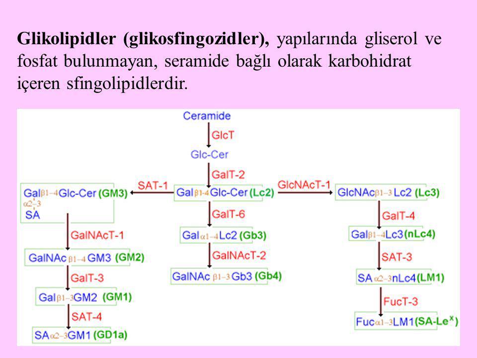 Glikolipidler (glikosfingozidler), yapılarında gliserol ve fosfat bulunmayan, seramide bağlı olarak karbohidrat içeren sfingolipidlerdir.