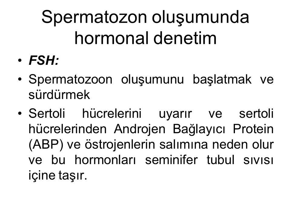 Spermatozon oluşumunda hormonal denetim