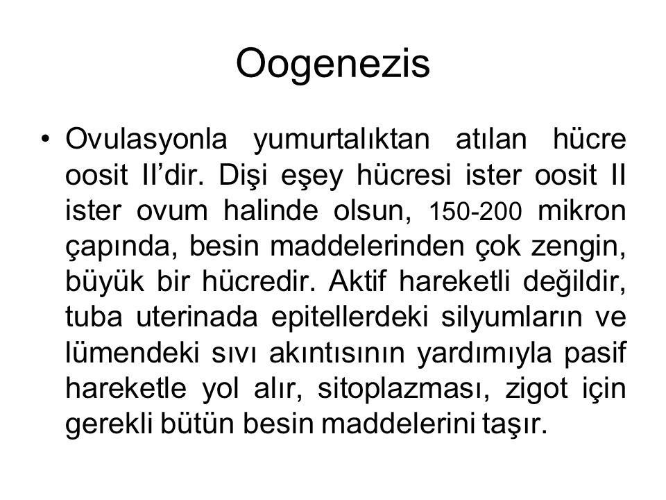 Oogenezis