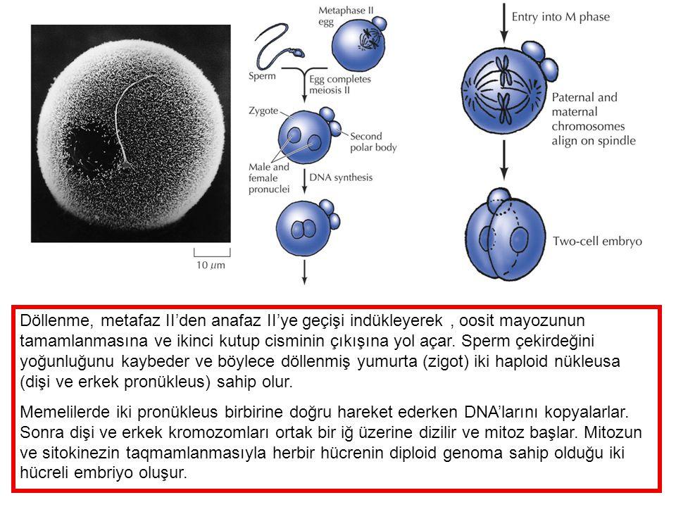 Döllenme, metafaz II'den anafaz II'ye geçişi indükleyerek , oosit mayozunun tamamlanmasına ve ikinci kutup cisminin çıkışına yol açar. Sperm çekirdeğini yoğunluğunu kaybeder ve böylece döllenmiş yumurta (zigot) iki haploid nükleusa (dişi ve erkek pronükleus) sahip olur.