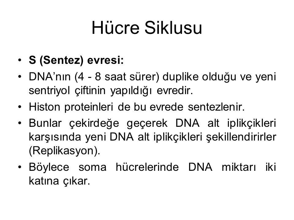 Hücre Siklusu S (Sentez) evresi: