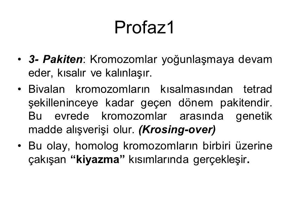 Profaz1 3- Pakiten: Kromozomlar yoğunlaşmaya devam eder, kısalır ve kalınlaşır.