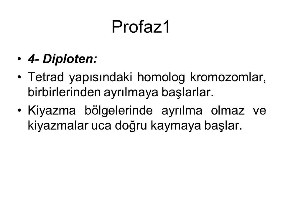 Profaz1 4- Diploten: Tetrad yapısındaki homolog kromozomlar, birbirlerinden ayrılmaya başlarlar.