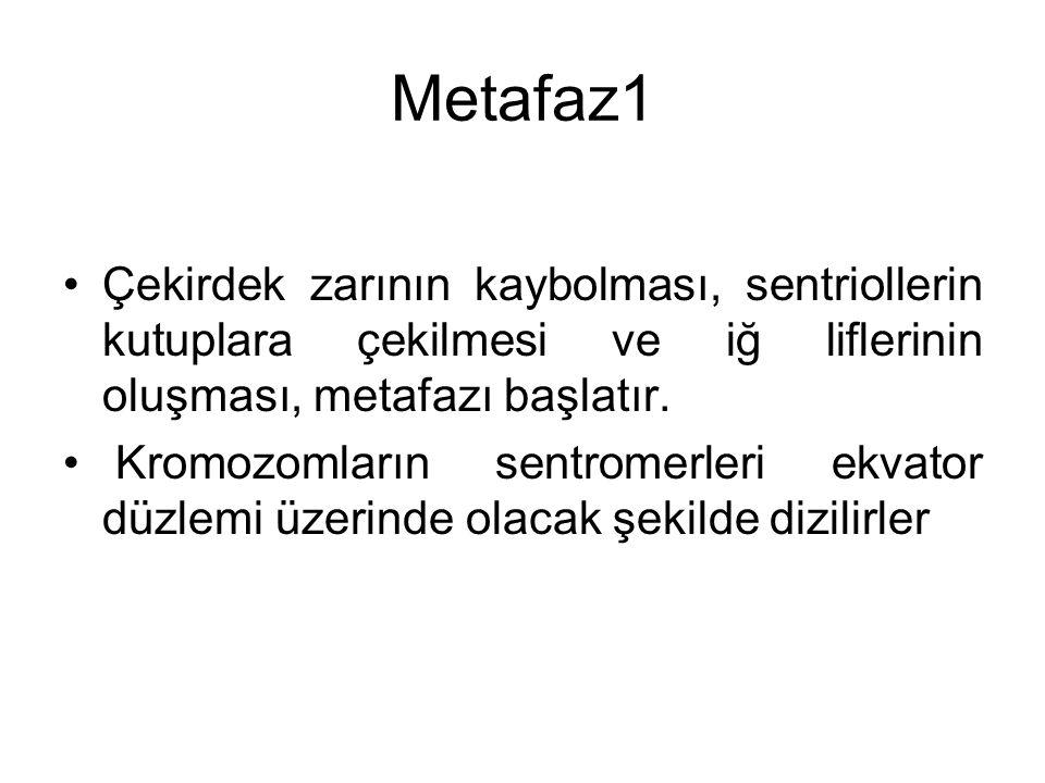 Metafaz1 Çekirdek zarının kaybolması, sentriollerin kutuplara çekilmesi ve iğ liflerinin oluşması, metafazı başlatır.