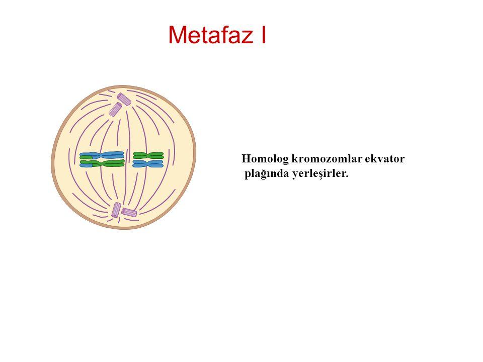 Metafaz I Homolog kromozomlar ekvator plağında yerleşirler.