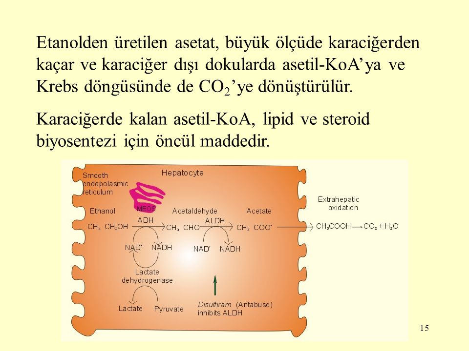 Etanolden üretilen asetat, büyük ölçüde karaciğerden kaçar ve karaciğer dışı dokularda asetil-KoA'ya ve Krebs döngüsünde de CO2'ye dönüştürülür.