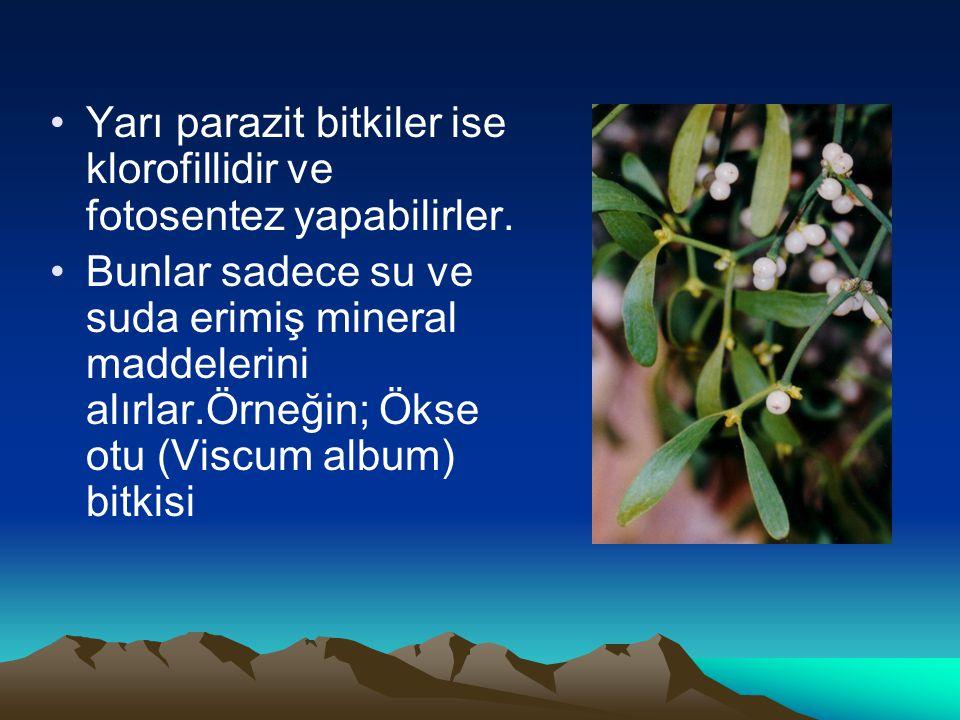 Yarı parazit bitkiler ise klorofillidir ve fotosentez yapabilirler.