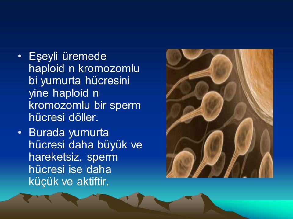 Eşeyli üremede haploid n kromozomlu bi yumurta hücresini yine haploid n kromozomlu bir sperm hücresi döller.