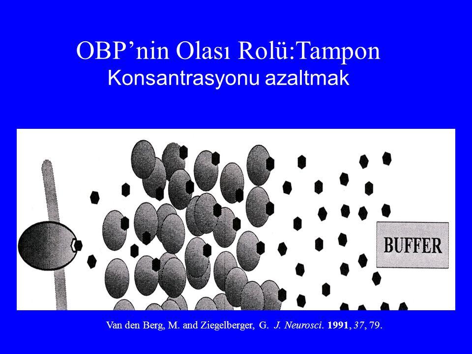 OBP'nin Olası Rolü:Tampon Konsantrasyonu azaltmak