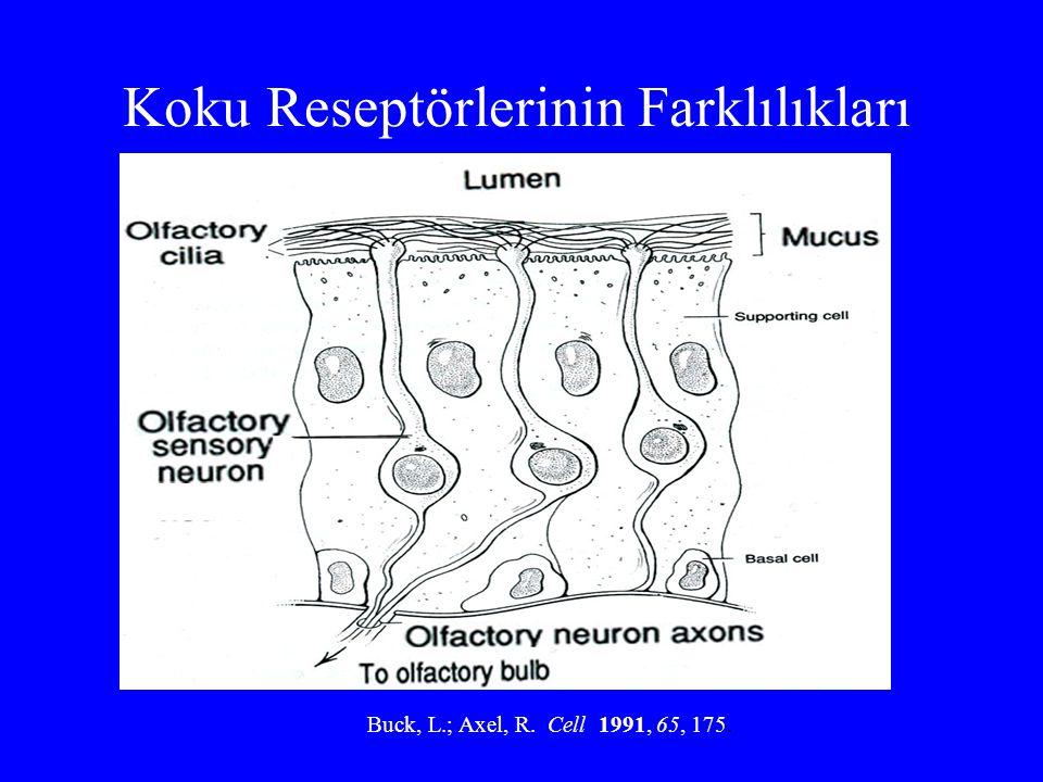 Koku Reseptörlerinin Farklılıkları