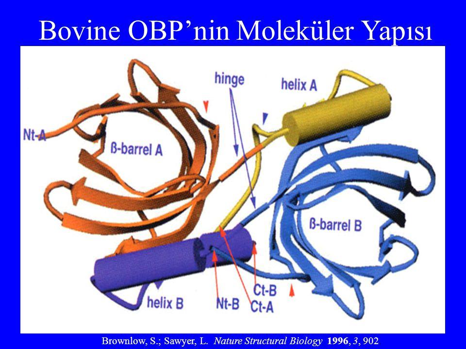 Bovine OBP'nin Moleküler Yapısı
