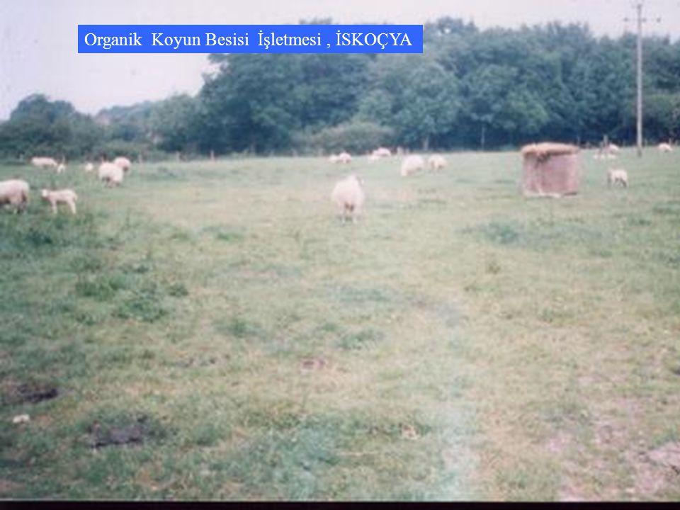 Organik Koyun Besisi İşletmesi , İSKOÇYA