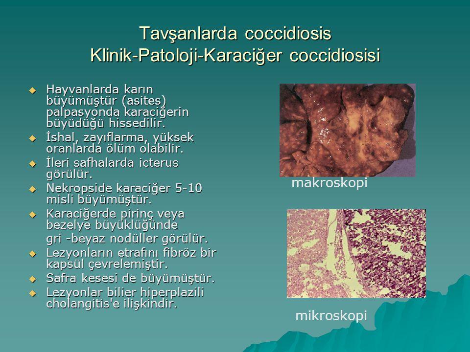 Tavşanlarda coccidiosis Klinik-Patoloji-Karaciğer coccidiosisi