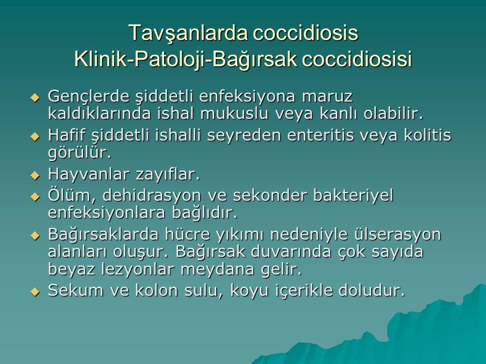 Tavşanlarda coccidiosis Klinik-Patoloji-Bağırsak coccidiosisi