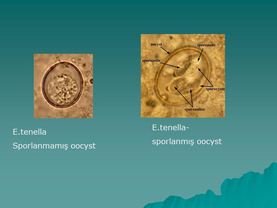 E.tenella- sporlanmış oocyst E.tenella Sporlanmamış oocyst