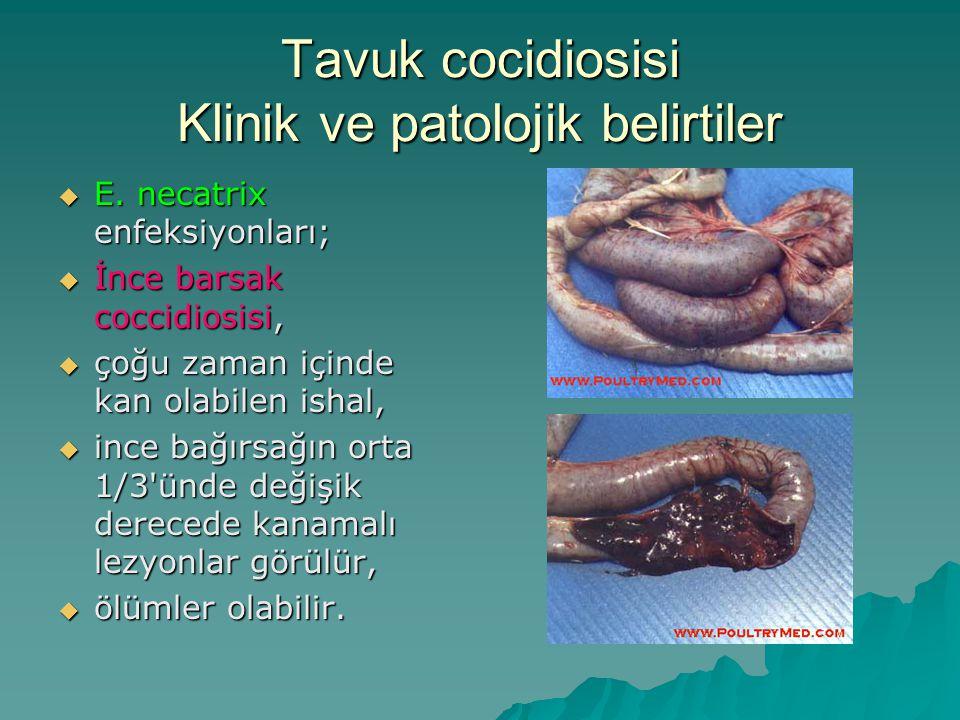 Tavuk cocidiosisi Klinik ve patolojik belirtiler