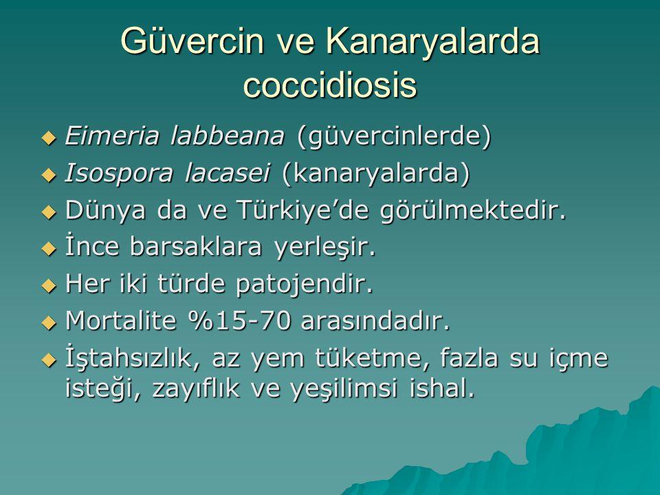 Güvercin ve Kanaryalarda coccidiosis
