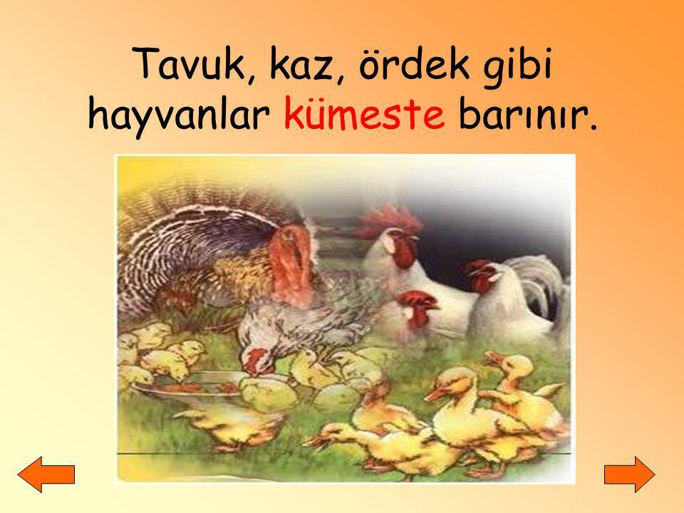 Tavuk, kaz, ördek gibi hayvanlar kümeste barınır.