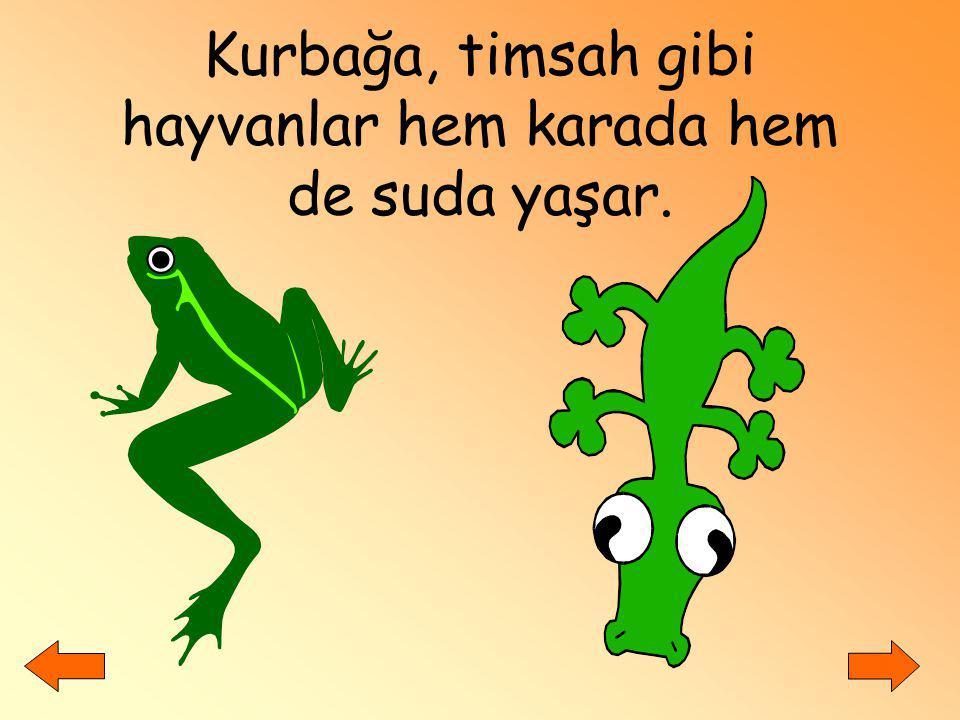 Kurbağa, timsah gibi hayvanlar hem karada hem de suda yaşar.