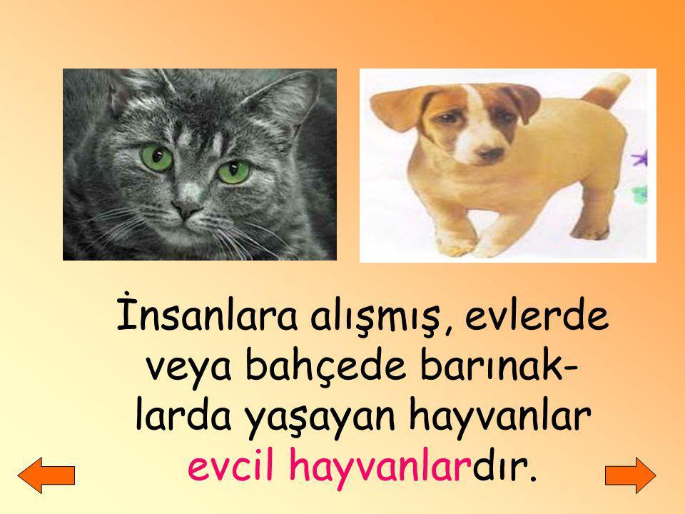 İnsanlara alışmış, evlerde veya bahçede barınak-larda yaşayan hayvanlar evcil hayvanlardır.