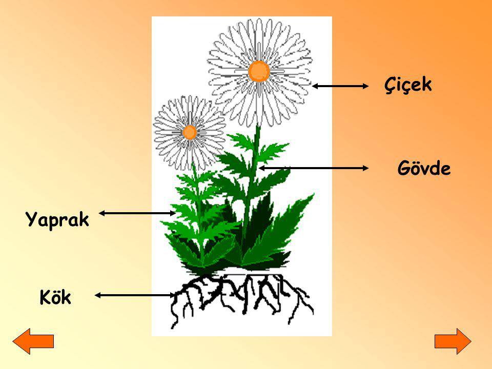 Çiçek Gövde Yaprak Kök