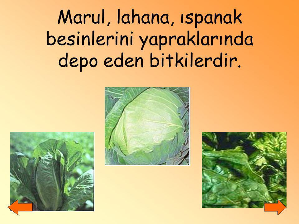 Marul, lahana, ıspanak besinlerini yapraklarında depo eden bitkilerdir.
